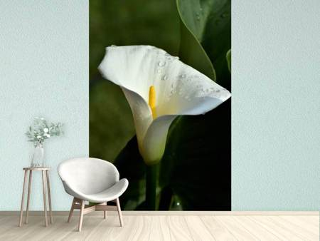 Fotobehang White calla with morning dew