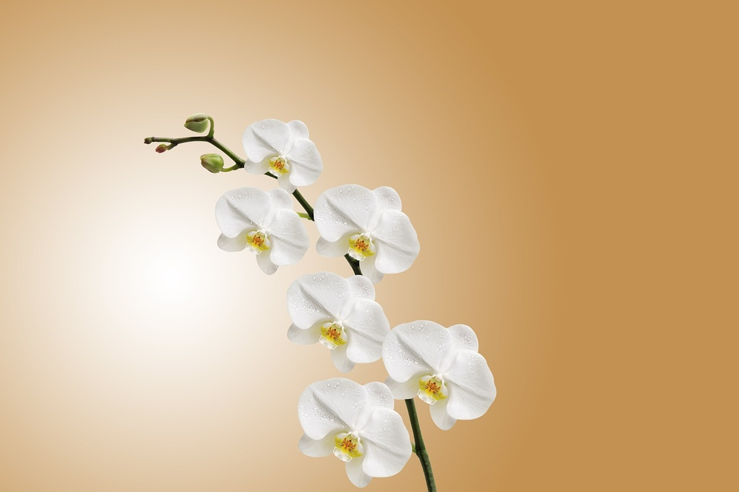 Fotobehang White orchids XL
