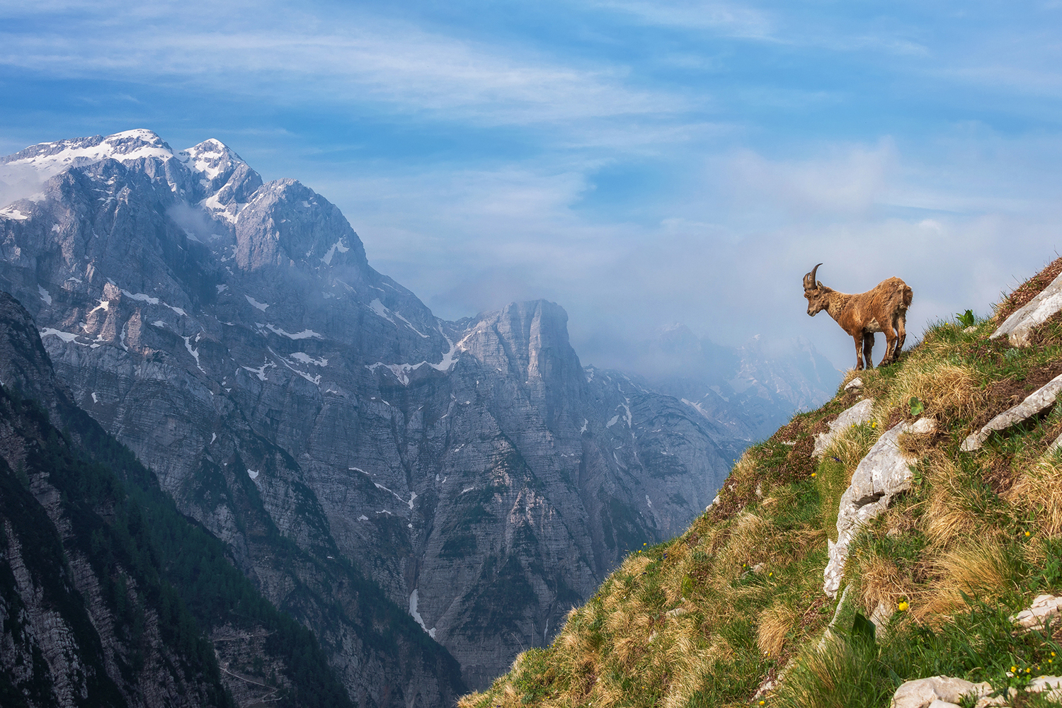 Fototapete Alpine Ibex In The Mountains