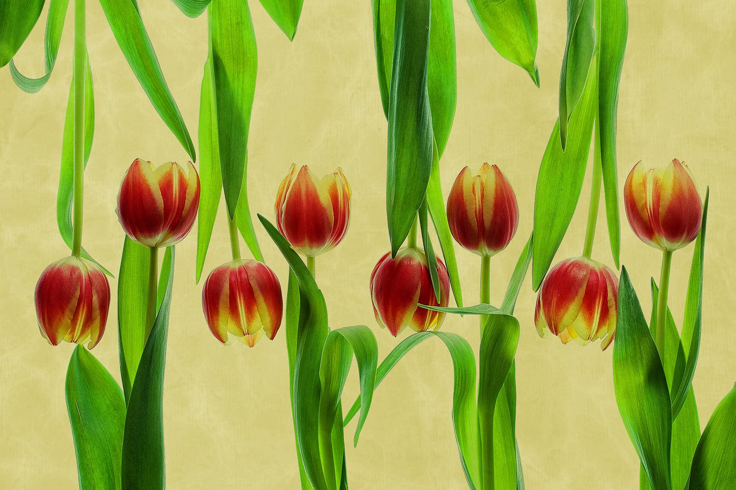 Photo Wallpaper Tulips