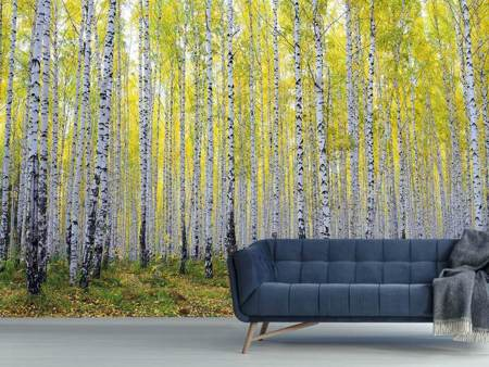Photo Wallpaper Autumnal Birch Forest