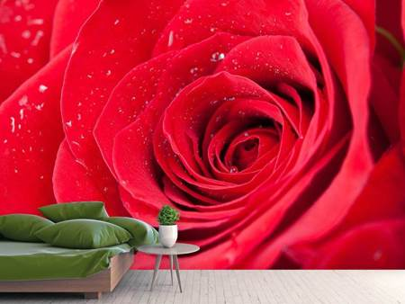 Photo Wallpaper Red Rose In Morning Dew